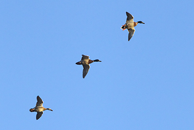 Three mallards in flight formation. [Image credit: Troy Gipps]
